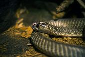 image of venom  - Tropical Venomous Snake Closeup - JPG