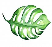 Tropical exotic monstera leaf. Watercolor illustration.