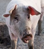 picture of animal husbandry  - closeup portrait of pig standing on animal farm background - JPG