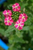 Red And White Verbena Flowers In A Garden