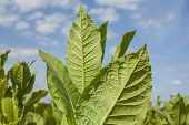 Постер, плакат: Tobacco plants with large leaves