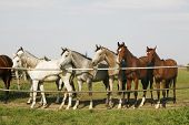 Arabian horses are together in the corral