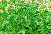 picture of tobacco leaf  - tobacco leaf plant in growth at field - JPG