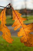 Orange Oak Leaves-vertical