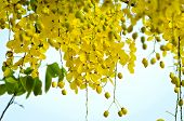 picture of cassia  - Beautiful yellow flower Golden shower  - JPG