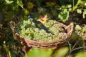 basket full of grapes in the vinyard in autumn