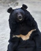 stock photo of omnivore  - Eye to eye contact with an Asiatic black bear - JPG