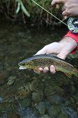 Closeup of fario trout in fisherman's hand