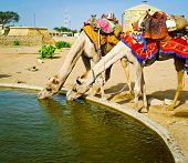 Two Camels Drinking