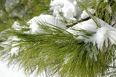 Snow Laden Pine Boughs