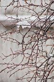 picture of sleet  - Currant bushes under the sleet and rain on a cloudy winter day - JPG