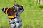 Butterfly And Wasp Eating Grapes
