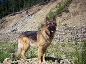 picture of alsatian  - Somewhere far away i look  - JPG
