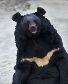 image of omnivore  - Eye to eye contact with an Asiatic black bear - JPG