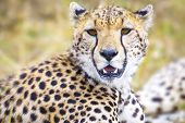 ������, ������: Cheetah at the great plains of Serengeti