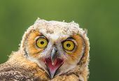 pic of angry bird  - Portrait of Young angry owl sitting in a tree - JPG