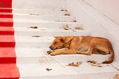 pic of seeing eye dog  - Brown Street Dogs Lying on the stairs of the temple - JPG