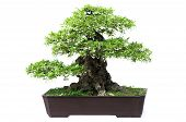 foto of bonsai  - Bonsai pine tree against a white wall - JPG