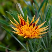 picture of apache  - Apache Gazania Large Decorative flower square composition - JPG