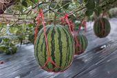 stock photo of muskmelon  - the big Watermelon green in the garden