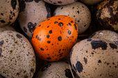 foto of quail egg  - quail eggs in a nest close - JPG
