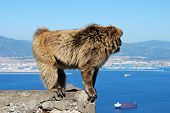 stock photo of gibraltar  - Barbary Ape  - JPG