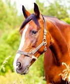 picture of horses eating  - Portrait of a light brown horse in the grass - JPG
