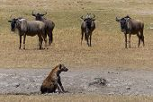 image of hyenas  - A hyena and some wildebeests in Africa - JPG