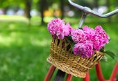 picture of spring break  - Vintage bicycle with basket with peony flowers in the spring park - JPG