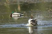 stock photo of pintail  - A northern pintail splashes around in the waters of Hauser Lake Idaho - JPG