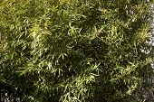 picture of bamboo leaves  - Bamboo leaf on the wind lit by the sun - JPG