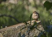 stock photo of mockingbird  - California Towhee spotted in Heron - JPG