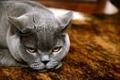 picture of portrait british shorthair cat  - Portrait photo of a tired british blue cat with amber eyes - JPG