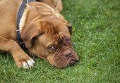 image of dogue de bordeaux  - breed dog Dogue de Bordeaux - JPG