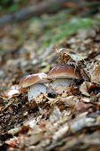 Twins Mushrooms