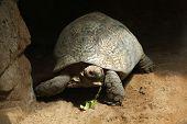image of tortoise  - Leopard tortoise  - JPG