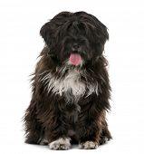 image of tibetan  - Tibetan Terrier puppy  - JPG
