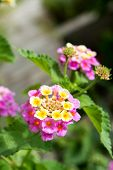 picture of lantana  - Lantana flowers in a garden - JPG