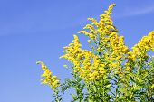 image of ragweed  - Blooming goldenrod plant on blue sky background