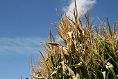 Towering Cornstalks Reaching To A Blue Autumn Sky