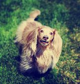 picture of spayed  -  a miniature long haired dachshund with isabella coloring sitting in the grass in a local park toned with a retro vintage instagram filter  - JPG
