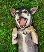 image of spayed  -  cute  chihuahua male dog rolling in clover grass at a local park during summer in bright sunlight with his tongue hanging out and squinting at the camera  - JPG