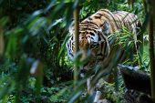 Постер, плакат: Siberian Tiger In The Forest