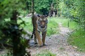 Постер, плакат: Amur Tiger Moving Along A Path In The Forest