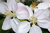 Apple Blossoms Macro