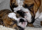 english bulldog mother cleaning eight week old puppy