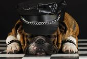 english bulldog wearing black leather dressed up like motorcycle gang