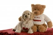 american cocker spaniel puppy being loved by stuffed teddy bear on white background