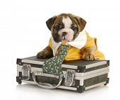 english bulldog puppy with tie stuck in a briefcase on white background