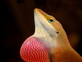 Anole Lizard With Dulap